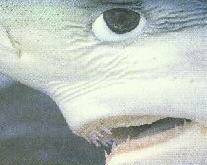 Голубая акула смотрит.