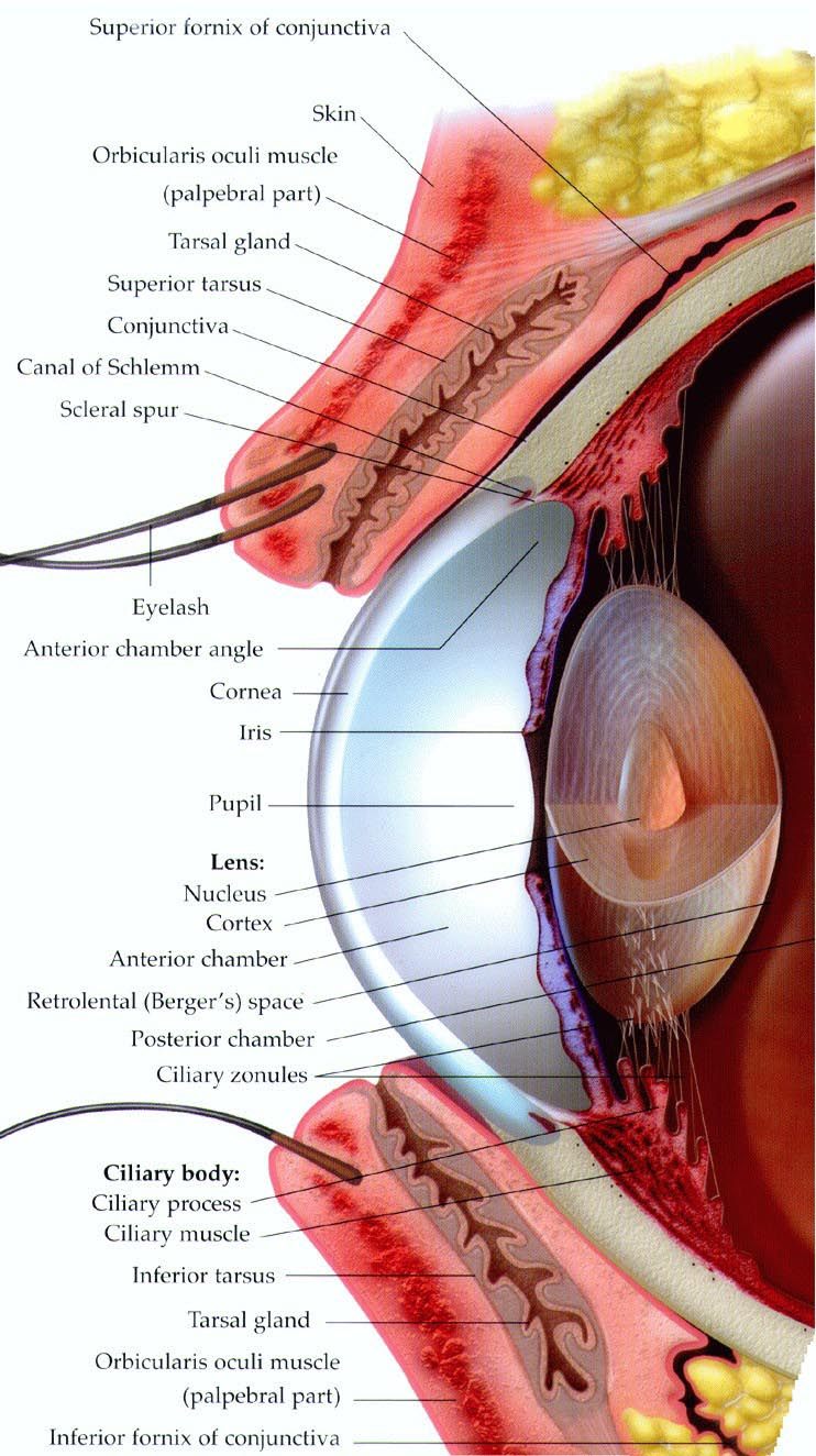 Tarsier Eye Anatomy Diagram - Online Schematic Diagram •