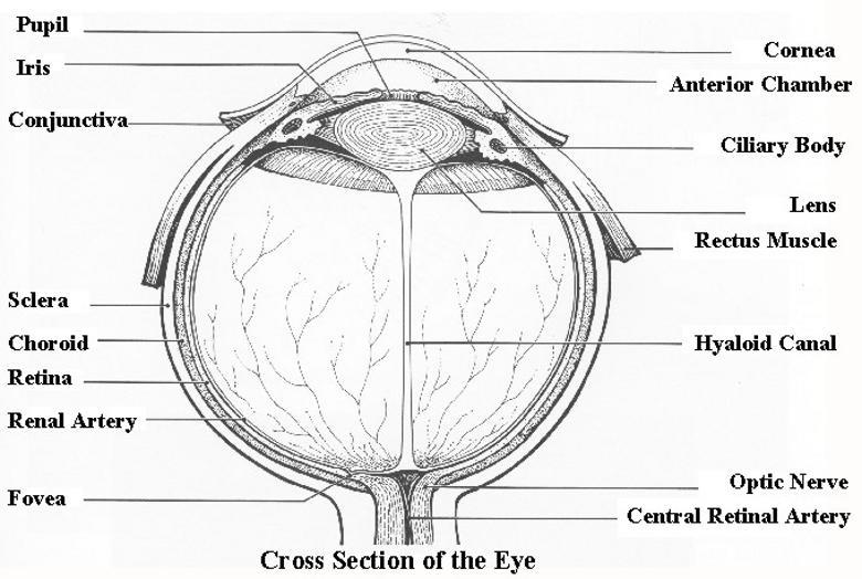 Роговица; передняя камера глаза; хрусталик; радужная оболочка; задняя